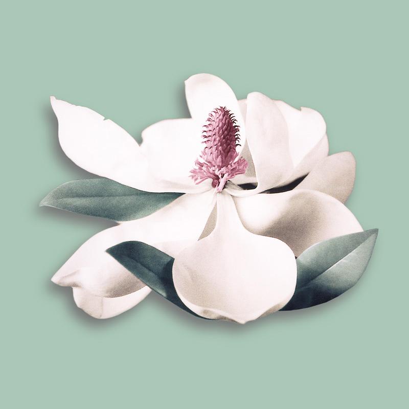 Aquila | Magnolia